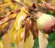 Ganoderma lucidum a její antifungální působení