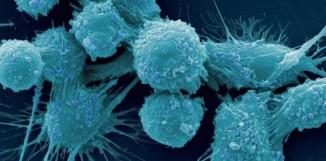 Reishi má protirakovinné účinky a zmírňuje ascites u myší s nádory